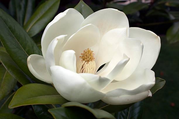 Flowering White Magnolia stock photo