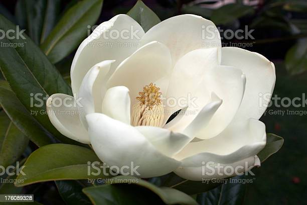Flowering White Magnolia Stock Photo - Download Image Now