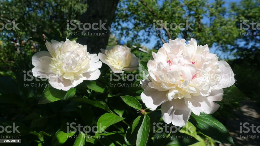 Flowering white peonies in the garden zbiór zdjęć royalty-free