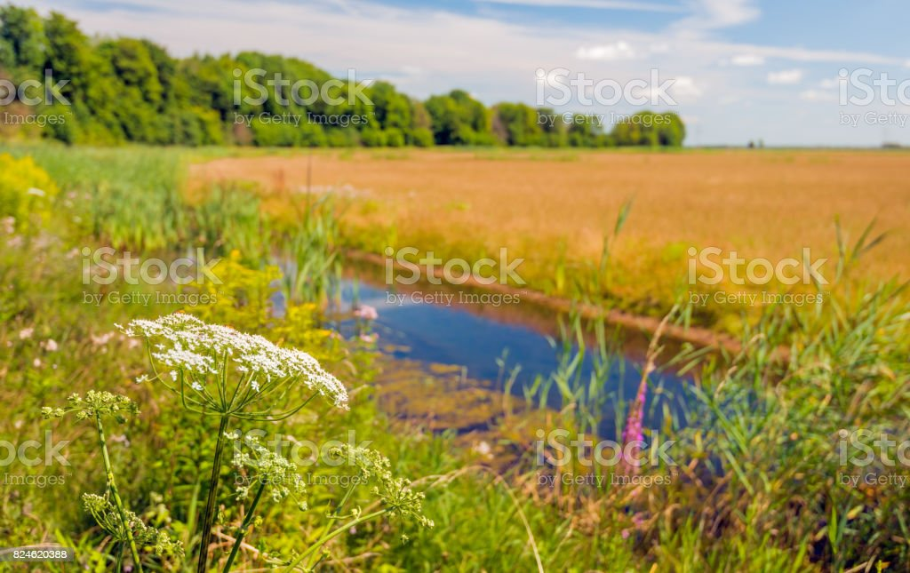 Flowering wild plants on the edge of the water stock photo