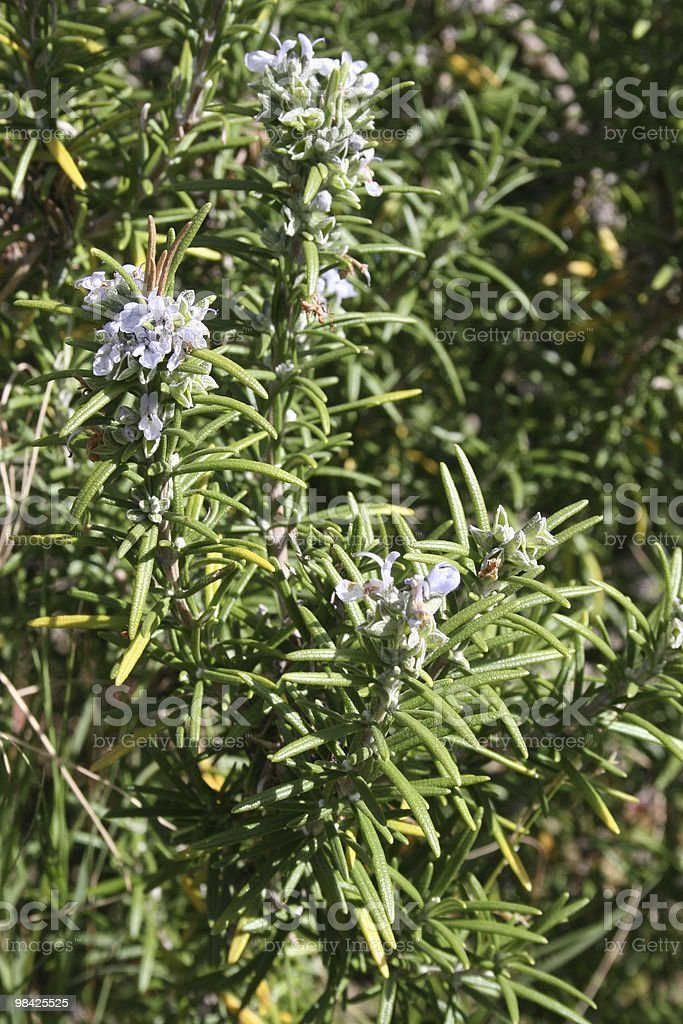 Flowering wild rosemary for remembrance royalty-free stock photo