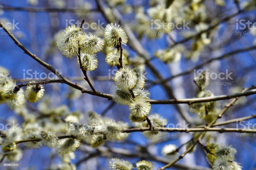 Photo Libre De Droit De Floraison Saules Branche De Saule