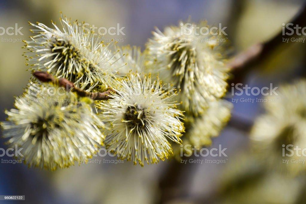 Floraison saules. Branche de saule discolore florifère le gros plan naturel bleu arrière-plan flou. - Photo