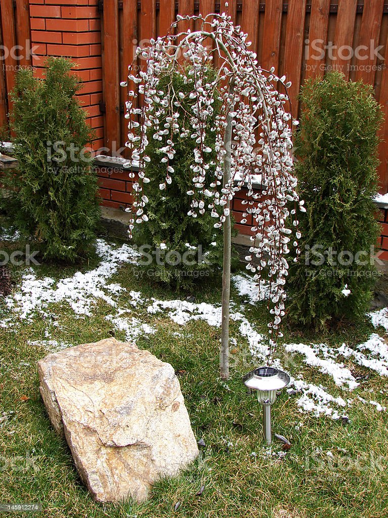 flowering willow royalty-free stock photo