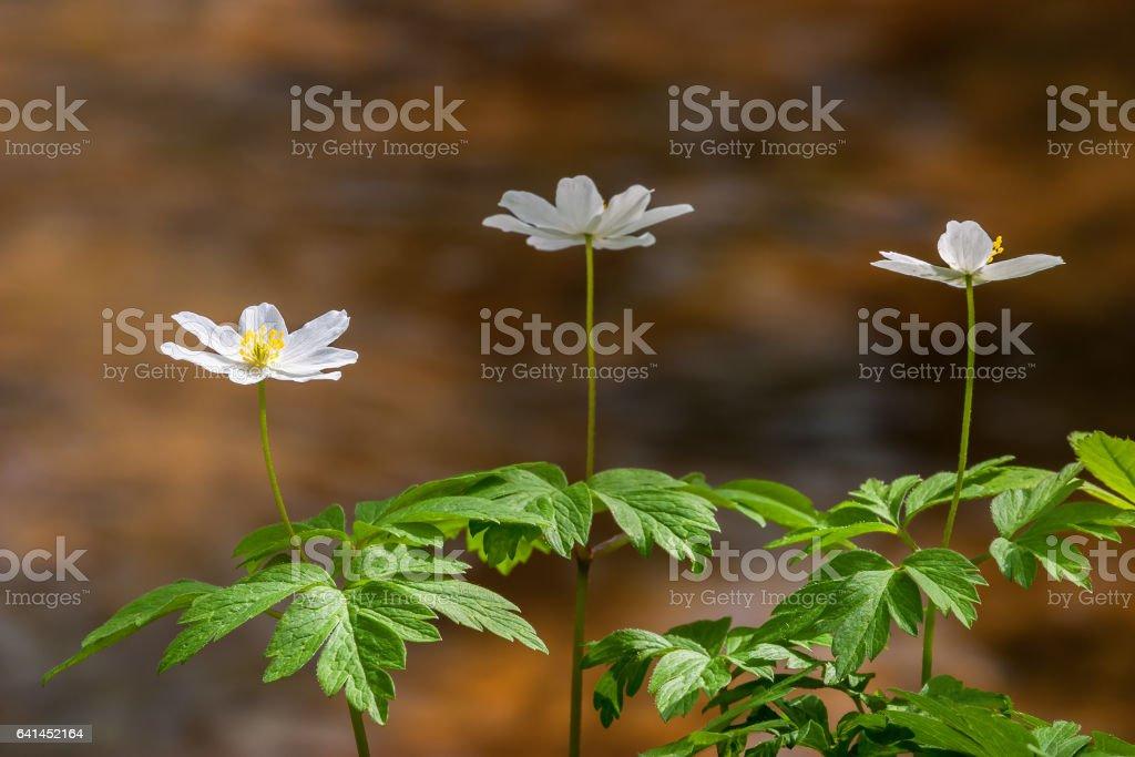 Flowering Windflower in woods in spring stock photo