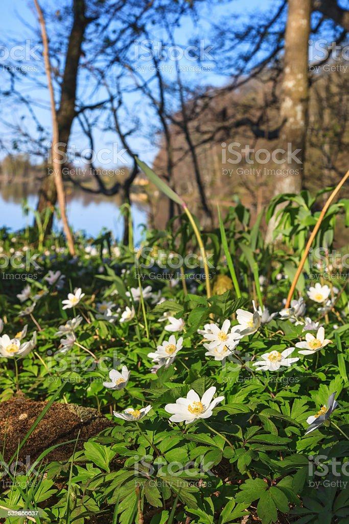 Flowering Windflowers stock photo