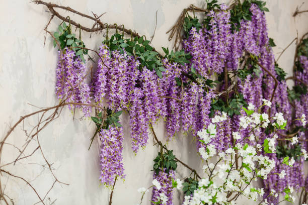 glyzinien pflanzen am haus wand hintergrund natürliche hauptdekoration blühen mit blumen - blauregen stock-fotos und bilder