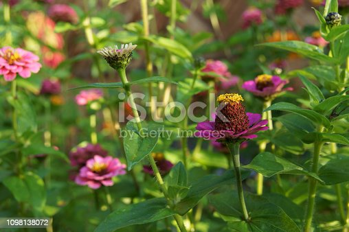 Flowering zinnia pink and purple