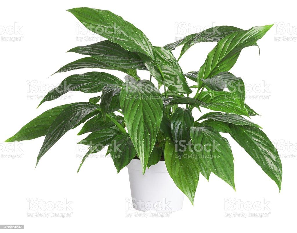 flowerpot 'Spathiphyllum wallisii' isolated on white background stock photo