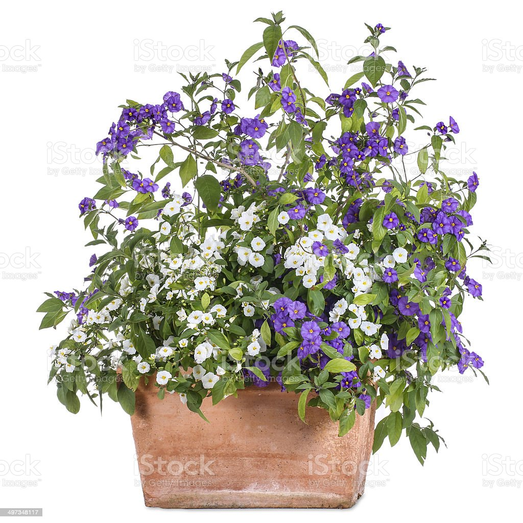 Flowerpot with white and purple solanum stock photo