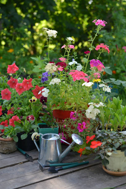 Flowerpots with phlox, petunia and pansy flowers with watering can on wooden patio. stock photo