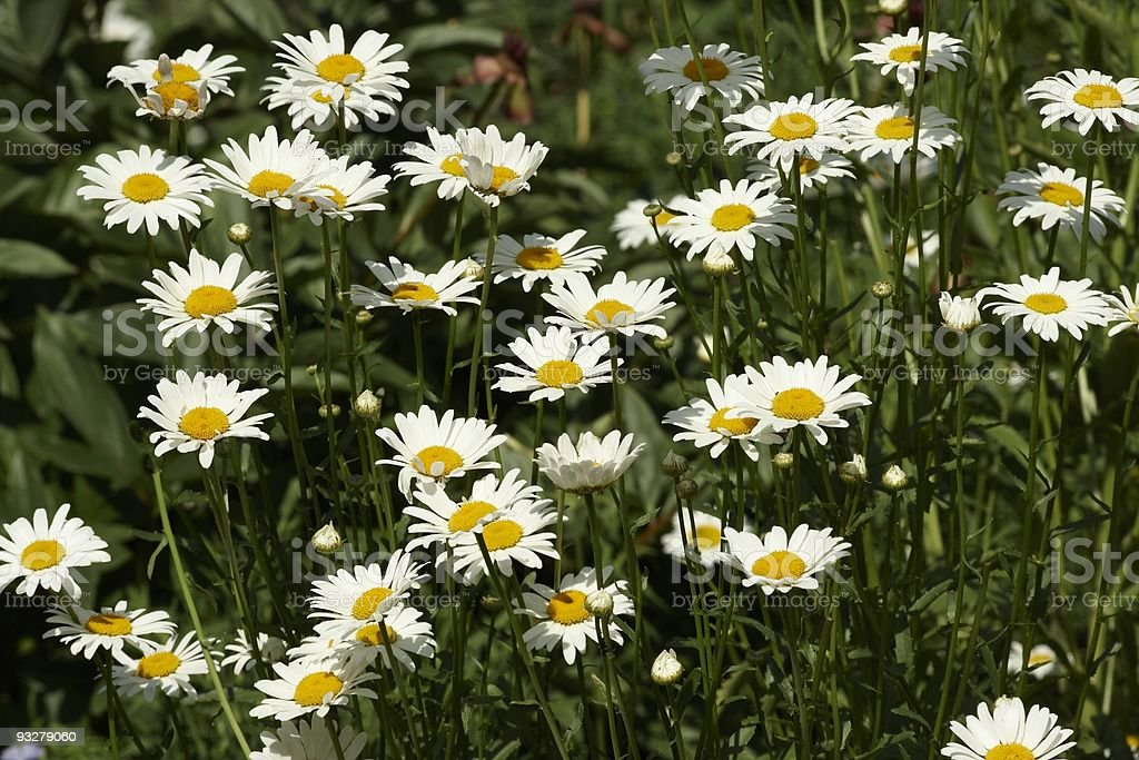 Flowers a camomile royalty-free stock photo