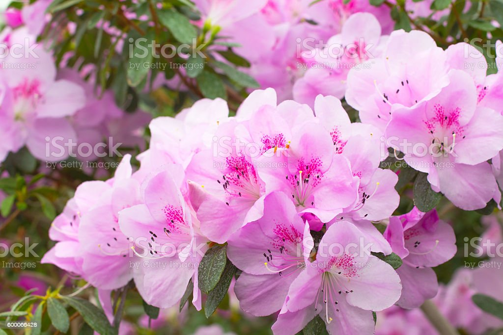 Flowers a pink azaleas. Close up. Top view stock photo