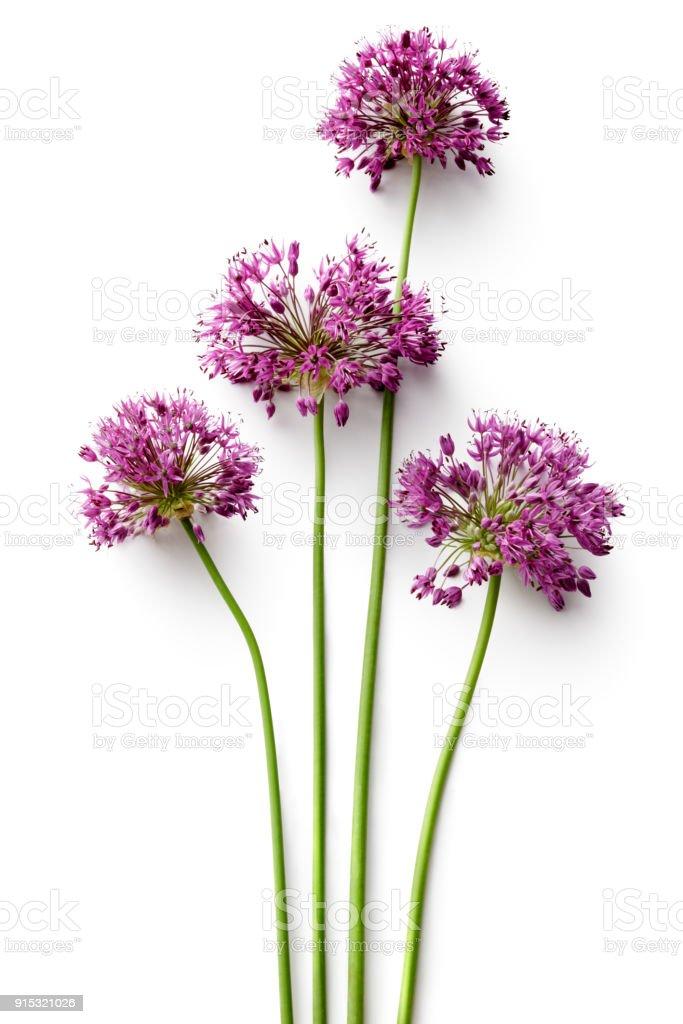 Bloemen: Alium bloem geïsoleerd op witte achtergrond foto