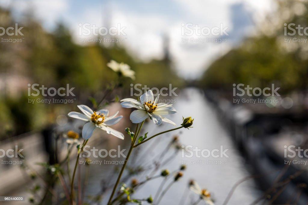 Flowers Amsterdam Canal - Zbiór zdjęć royalty-free (Amsterdam)
