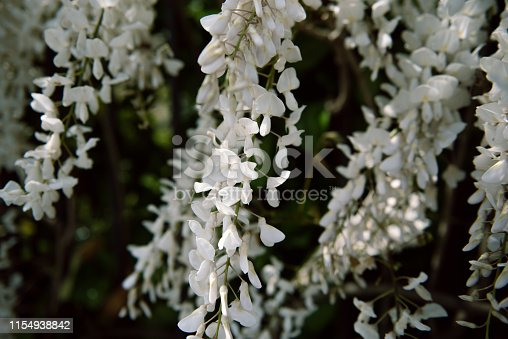 Flowers And Aromatic Plants In A Botanical Garden: White Wisteria In Bloom
