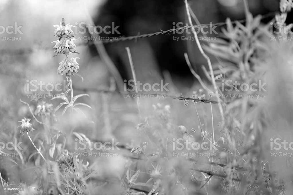 Flowers and barbed wire stock photo