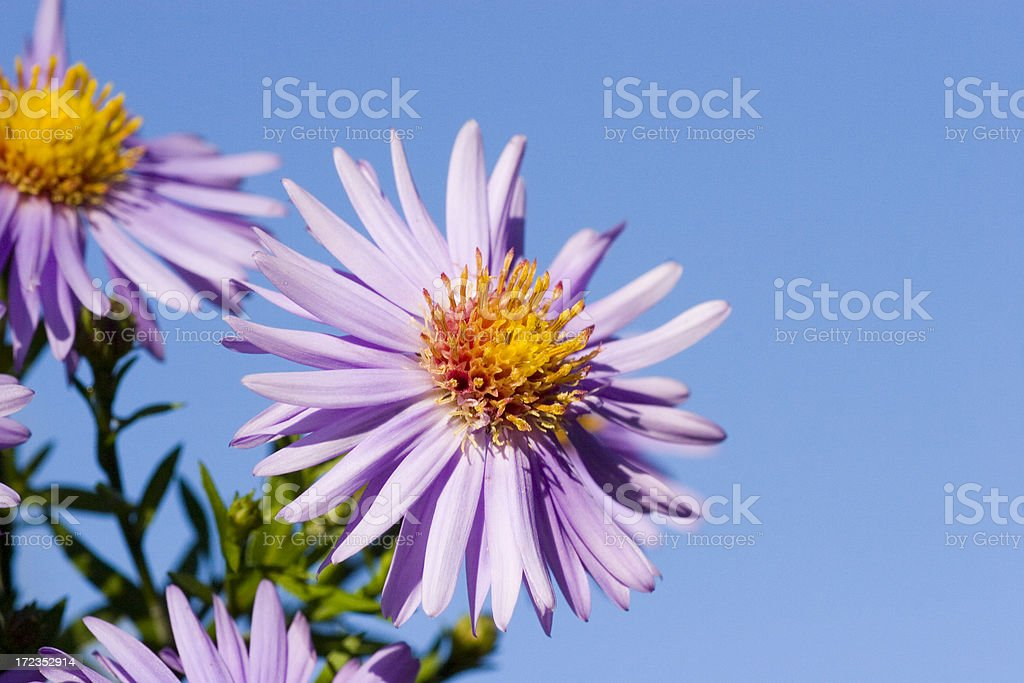 Flores y fondo azul. foto de stock libre de derechos
