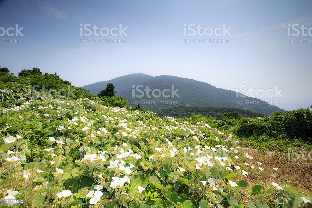 Flowers and buds of bindweed invasive weed Field stock photo