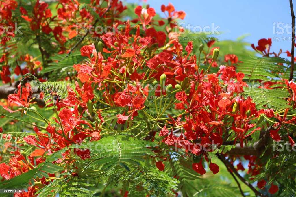 Flowers and buds of Delonix regia or flame tree in summer, Queensland Australia stock photo