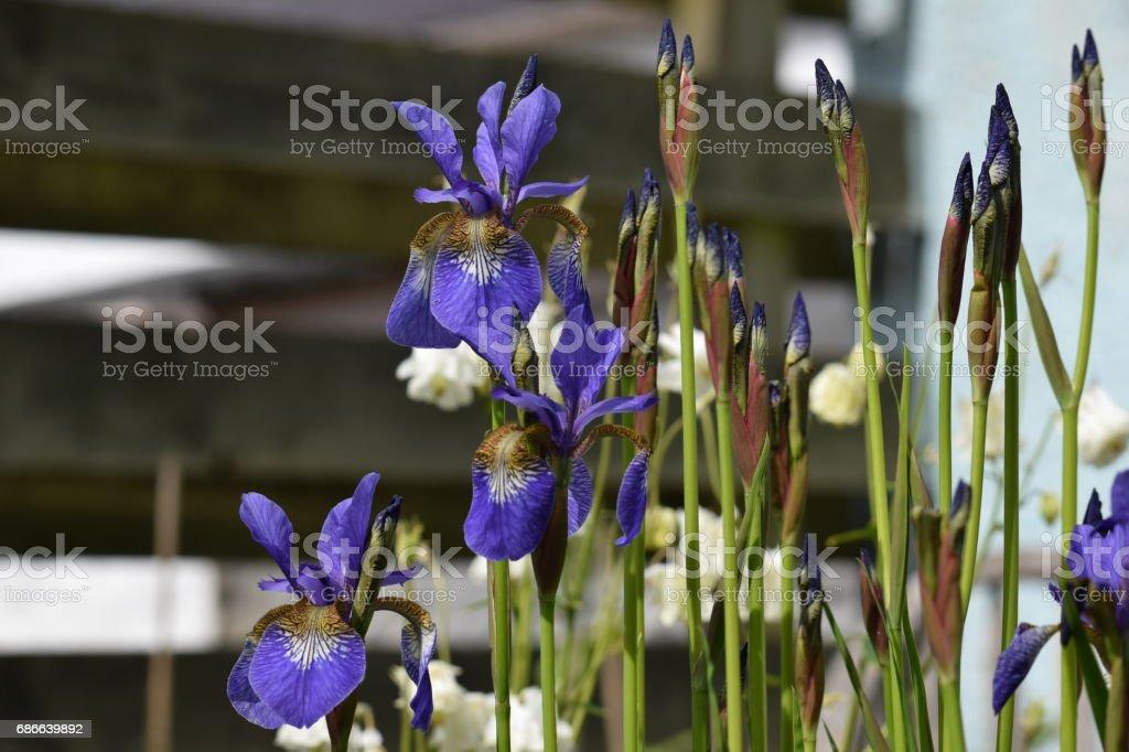 Flowers and buds of Siberian iris, Iris sibirica royalty-free stock photo