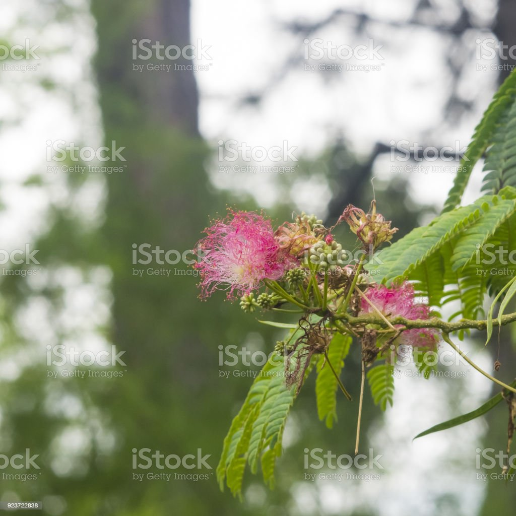 Flowers And Buds On Blooming Persian Silk Tree Albizia Julibrissin