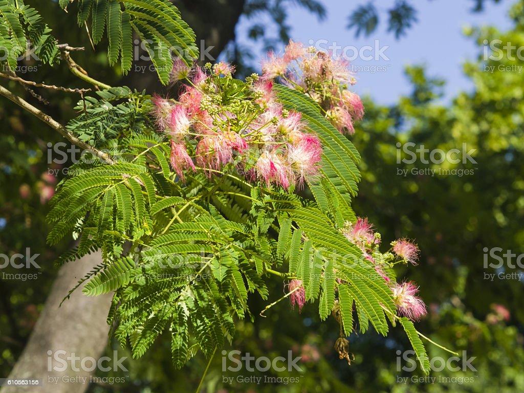 Flowers And Buds On Persian Silk Tree Albizia Julibrissin Closeup