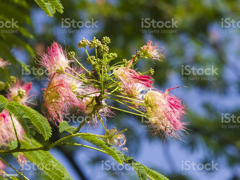 Flowers and buds on Persian silk tree, Albizia julibrissin, close-up stock photo