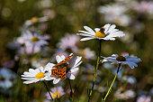 꽃(구절초)과 나비