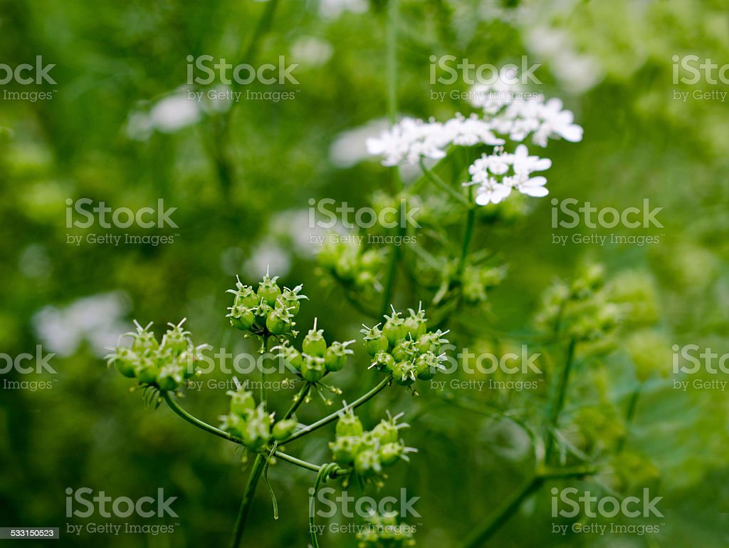 flowers and coriander seeds are outdoors stock photo