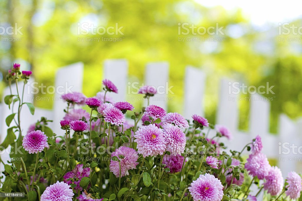 Flowers and fence close-up royalty-free stock photo
