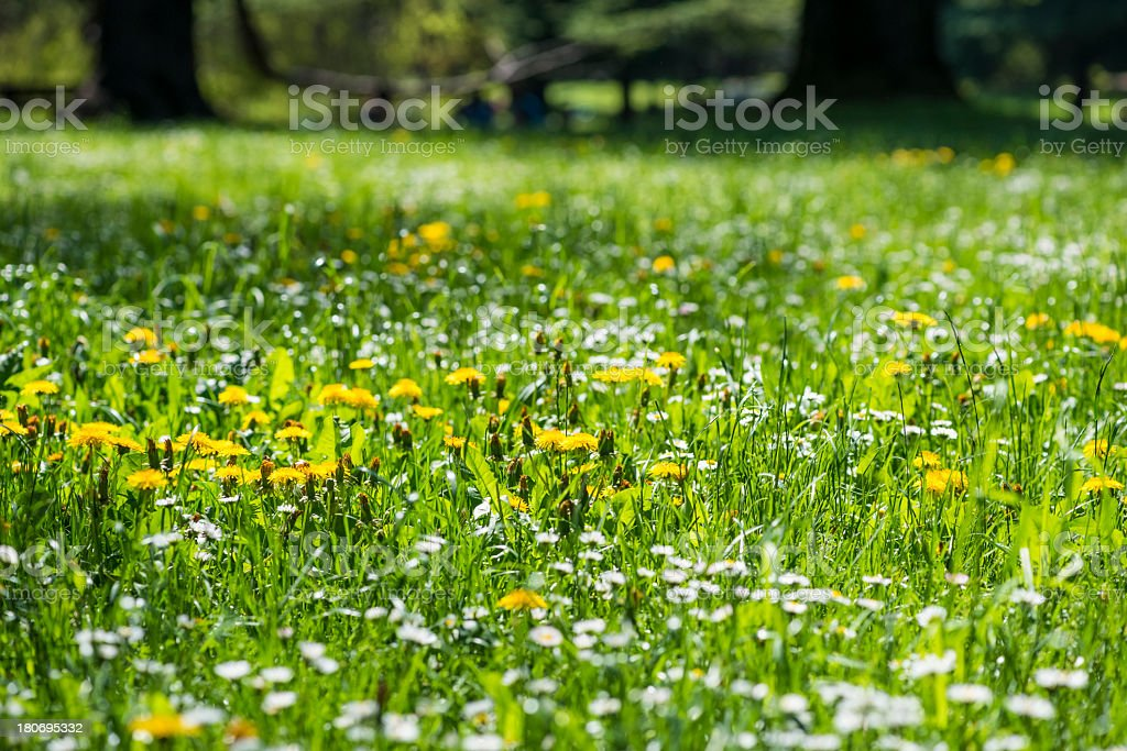 Flowers and green grass - spring royalty-free stock photo