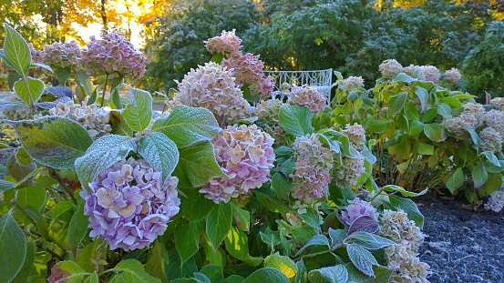 Flowers and green leaves of hortensia covered with hoarfrost. Frosty autumn  morning in the garden. Frozen pink Hydrangea macrophylla. Wonderful image for card. Inspiration from nature. Winter is soon