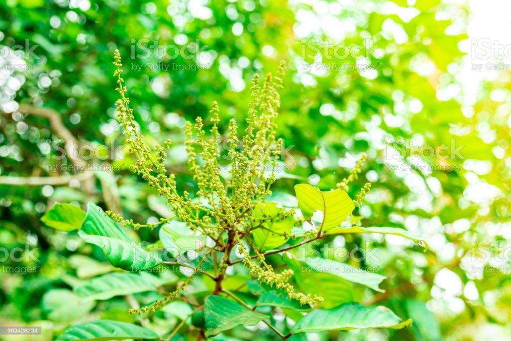 Les fleurs et les fruits non mûrs de ramboutan sur l'arbre. - Photo de Agriculture libre de droits