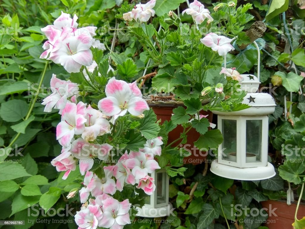 Flowers and lantern royalty-free stock photo