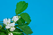 Flowers and leaves of hawthorn (Crataegus), also known as quickthorn, thornapple, May-tree, whitethorn or hawberry on a blue background.