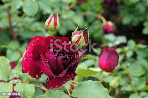 istock Flowers and leaves of rose. 1018475094