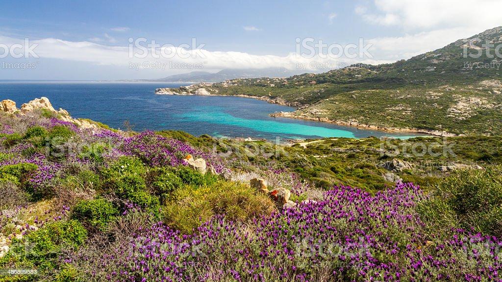 Flowers and maquis at La Revellata near Calvi in Corsica stock photo