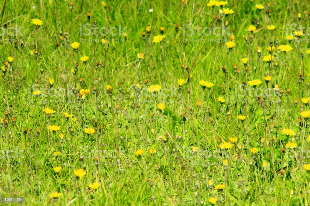 flowers and seeds of Carduus stock photo