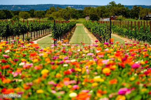 Field of flowers in the Texas Hill Country between Johnson City and Fredericksburg.