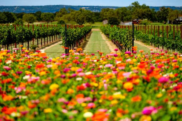 Blumen und Weinberg in Texas Hill Country – Foto