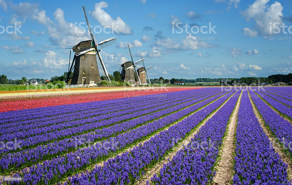 Flowers and windmills in spring in the Netherlands stock photo