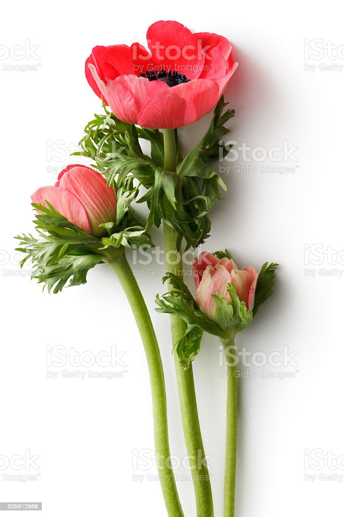 Flowers: Anemone royalty-free stock photo