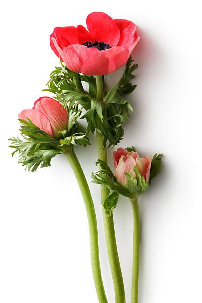 Flowers anemone picture id505912988?b=1&k=6&m=505912988&s=612x612&w=0&h=xkdjs8p9v72d5a0ckskruvnyec7qj7iv1so4f 53bnk=