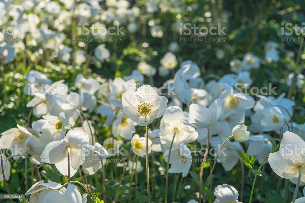 flowers anemone royaltyfri bildbanksbilder