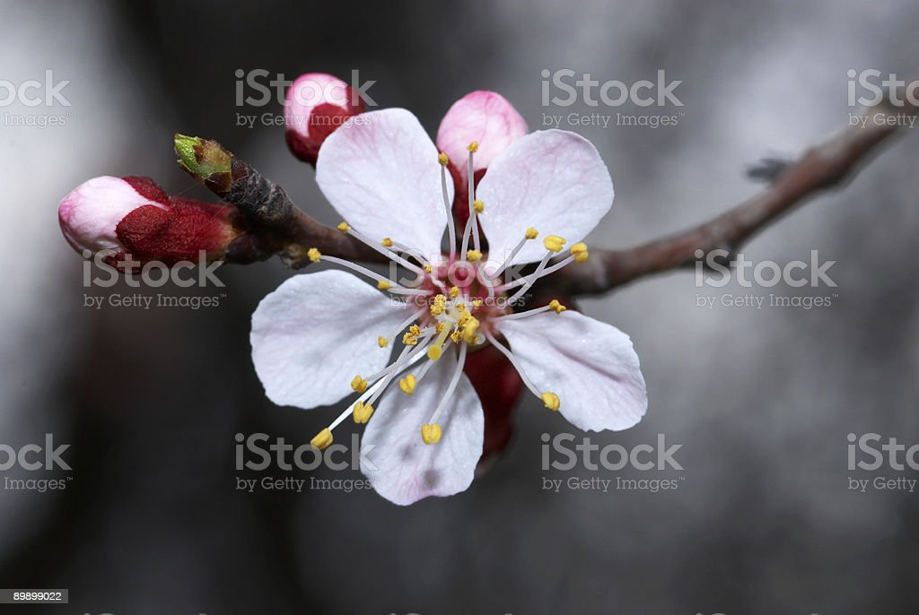 Flowers apricot tree royalty-free stock photo