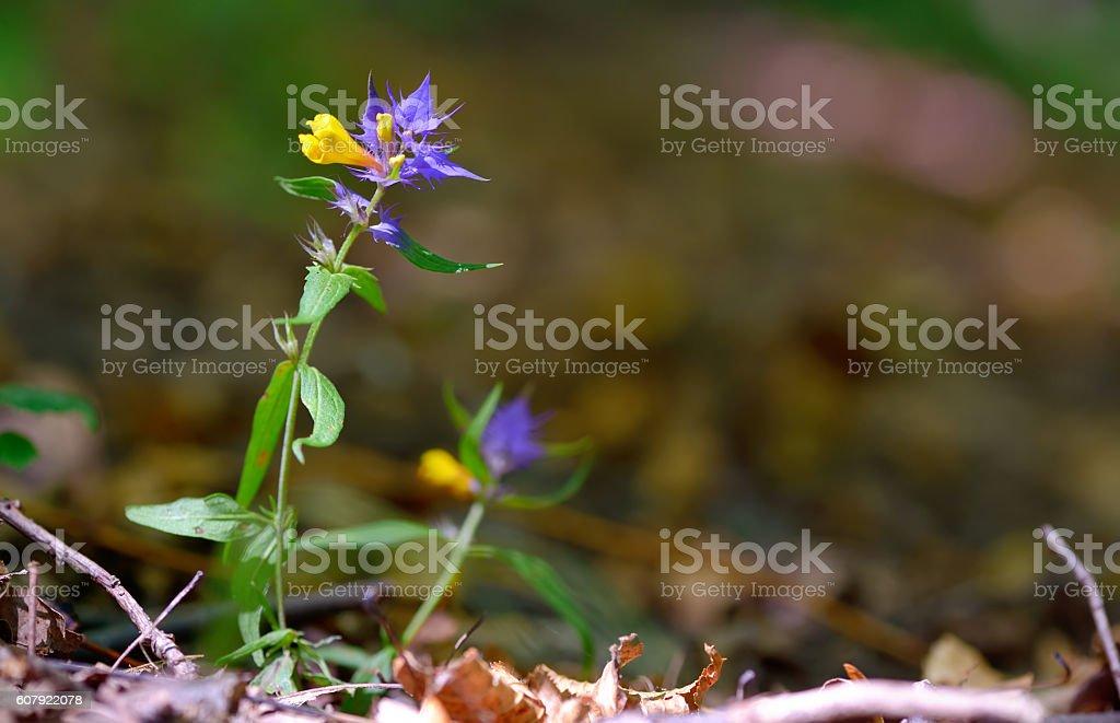 flowers aquilegia vulgaris - Common columbine stock photo