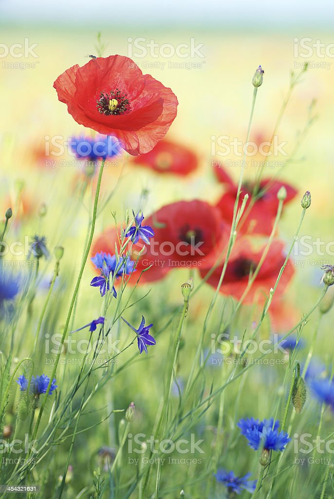 flowers are red poppies and blue cornflowers royalty-free stock photo