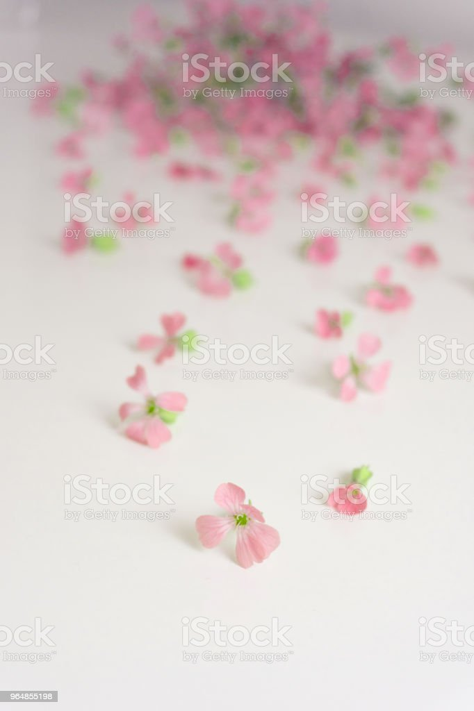 Flowers are scattered on a white background. Delicate pink blossoms of wildflowers royalty-free stock photo