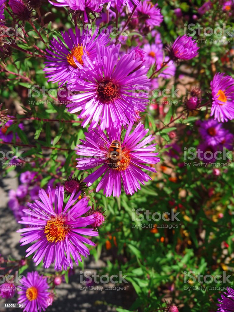 flowers asters summer bright with the bee on the flower stock photo